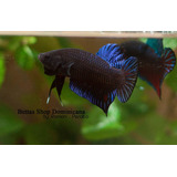 Bettas Fighter (pitbull De Peleas)