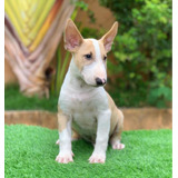 Bullterrier Con Pedigree Internacional