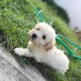 Hermosa Poodle Pelo Liso