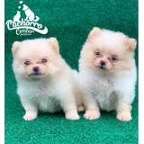 Hermosas Pomeranian Miniatura