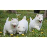 Cachorros De Husky Siberiano Macho Y Hembra Para Vender.
