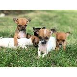 Hermosos Chihuahuas