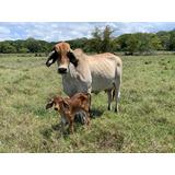 Vacas En 1era De Cria